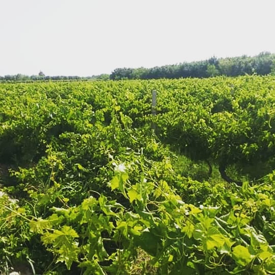 Helmand Grapes will be available in the market soon