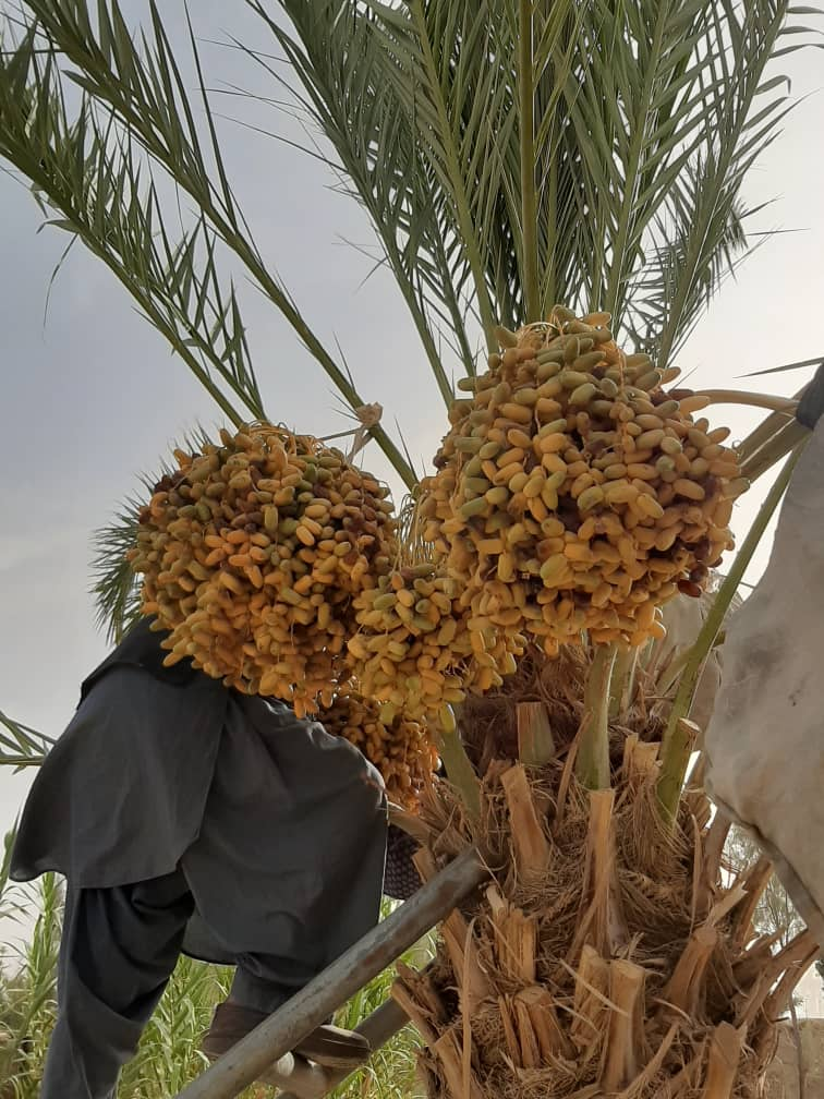The Beauties of Helmand Dates
