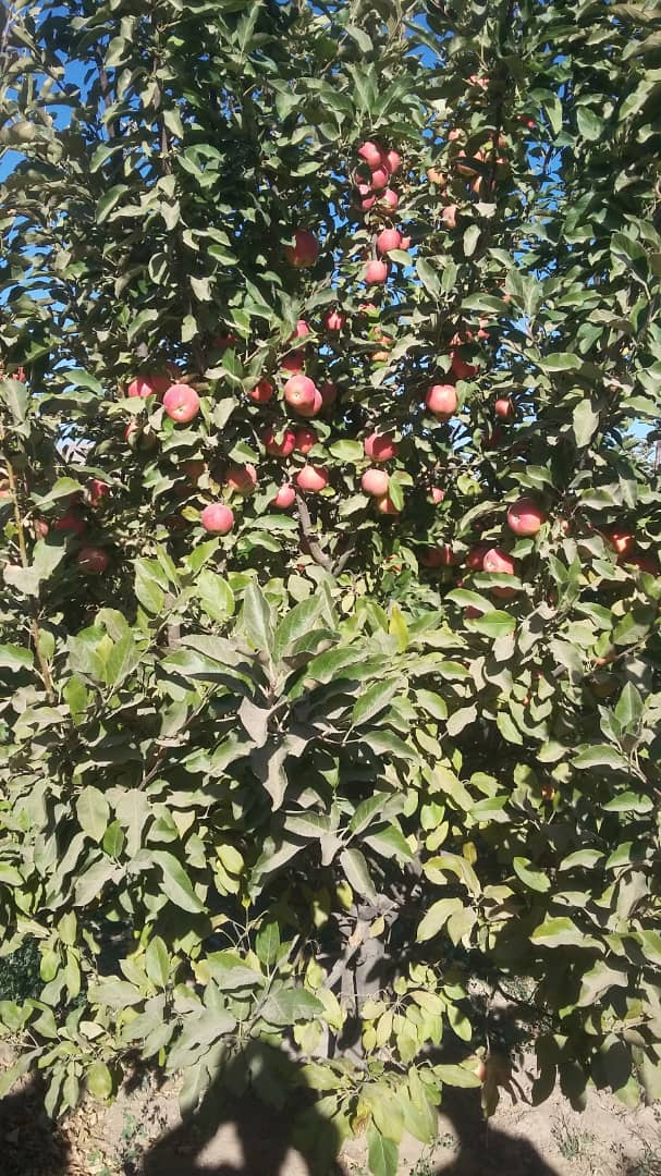 Apples of Qadis District of Badghis province