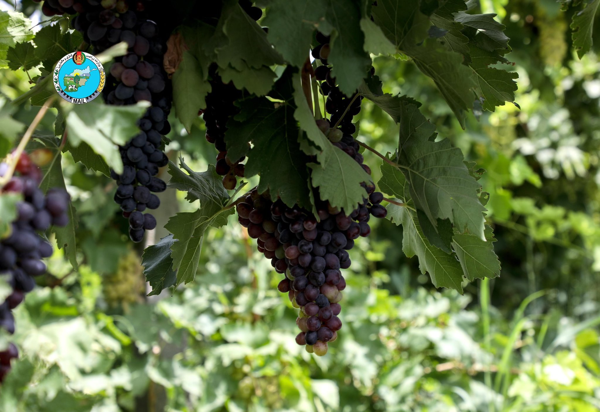 Parwan Grape