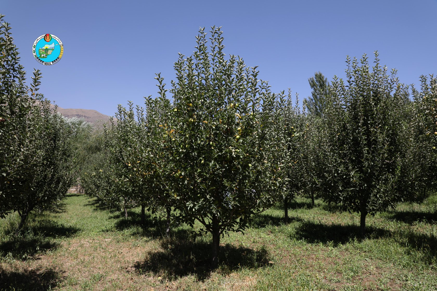 Apple Orchards in Panjsher