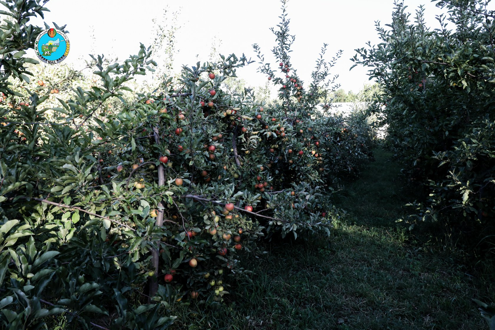 Apple Orchards in Kapisa province