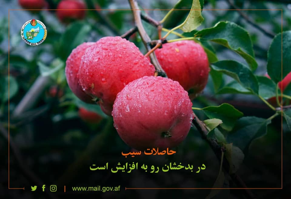 Badakhshan Apple
