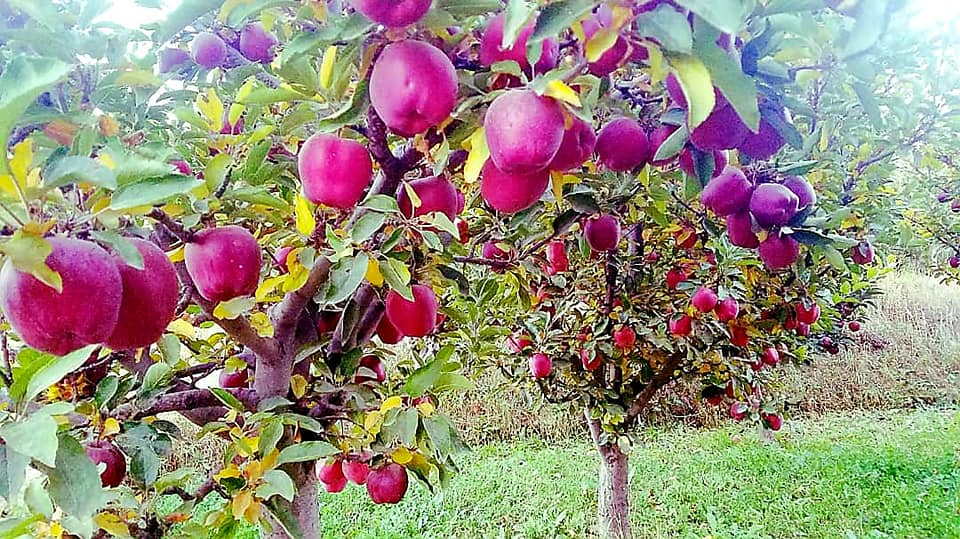 Apple's Crop in Nerkh district of Maidan Wardak