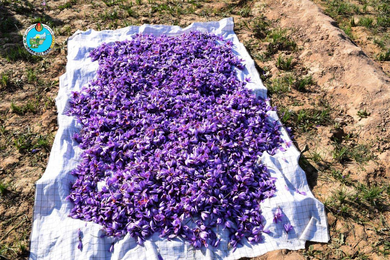 Views of saffron flower picking in Herat