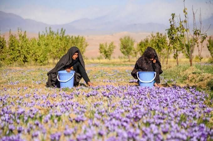 Harvesting season of Saffron's flower began in Balkh
