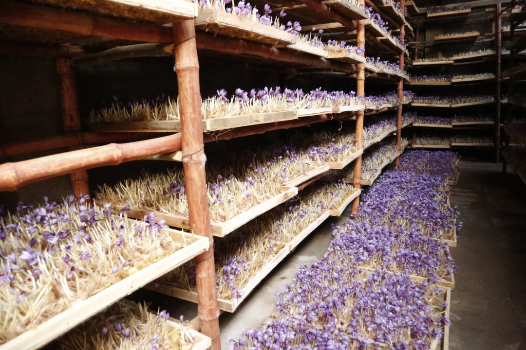 Saffron's Cultivation in Greenhouses of Herat