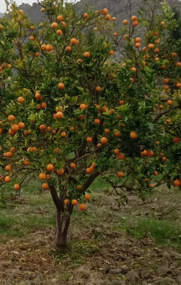 Photos of oranges of Kunar