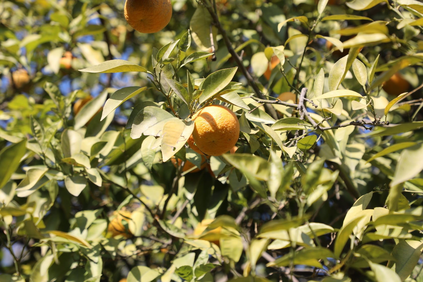 Orange of Laghman narrated by picture.