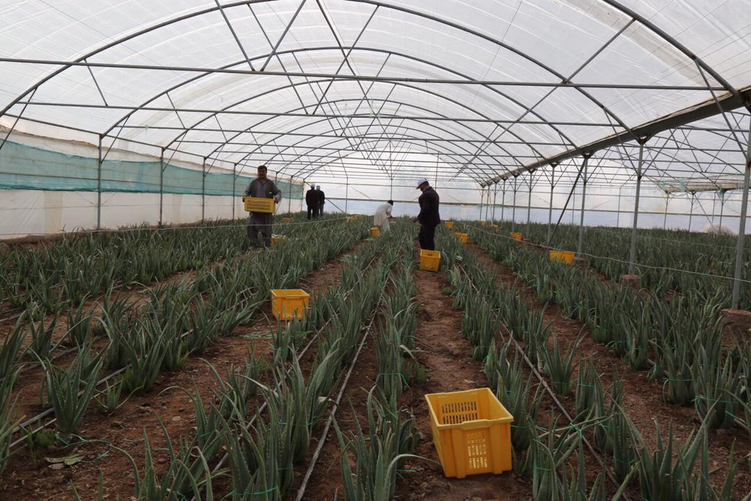 Herat's greenhouse yields have been increased this year compared to last year