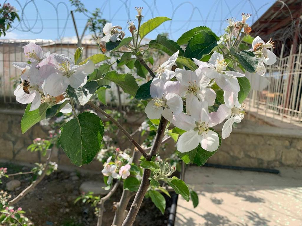 Apple flower season in Balkh province، according to the picture.