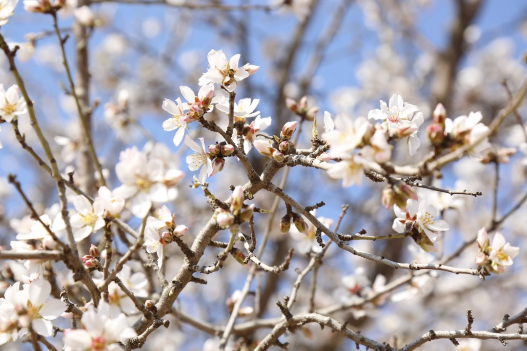 Blossoms of Apricot and plum of Herat province.