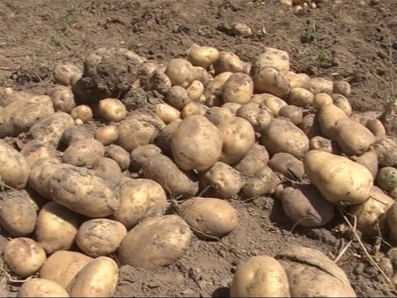 Production of nearly 900,000 tons of potatoes in the country
