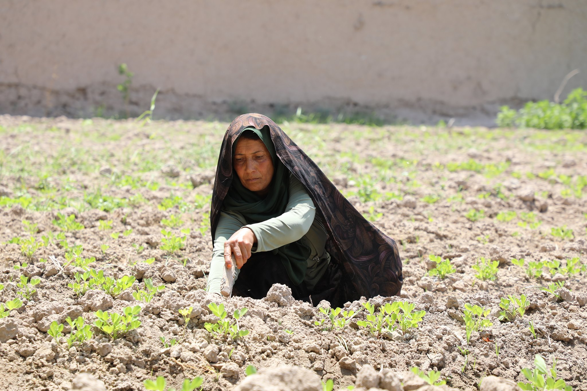 Cultivation of (Peanut) for the first time in Herat, by Second National Priority program 2 (SNapp2) its seeds were distributed to women farmers by the Ministry of Agriculture