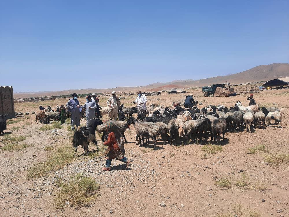 The Campaign of Anti-worm drug for Nomadic animals began in Logar
