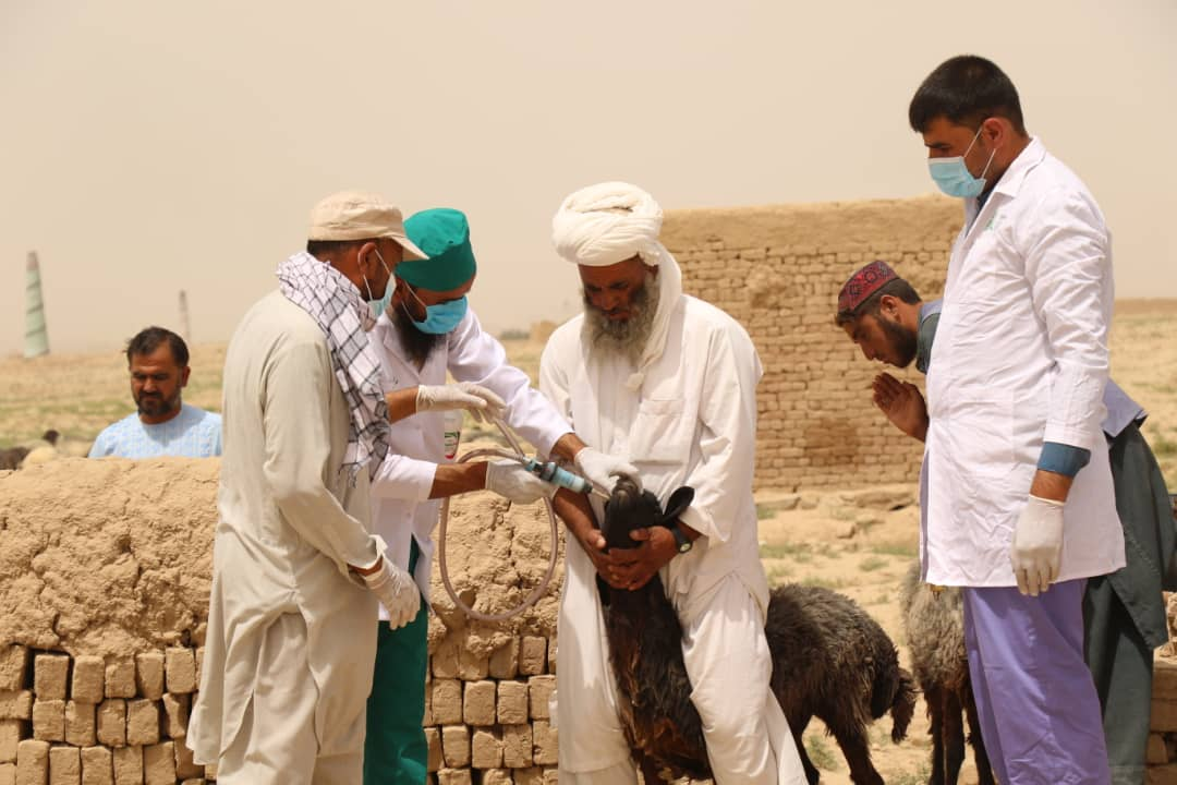 PPR Campaign Launched against Small Ruminants in Kabul